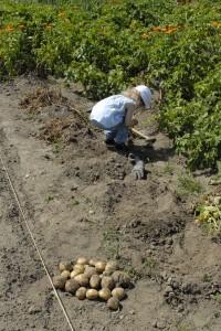 Kornelia kartoffelhøst