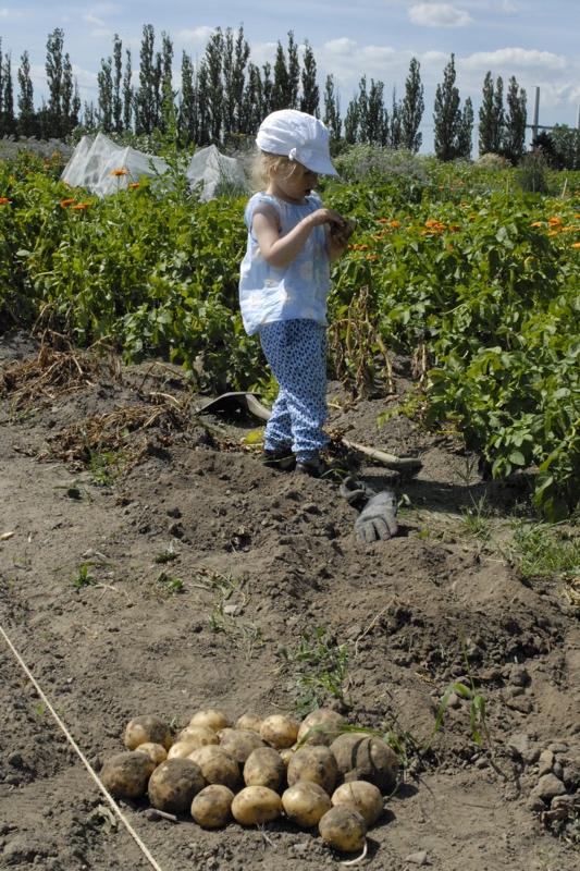 Dyrkning af kartofler - Kornelia hoster kartofler