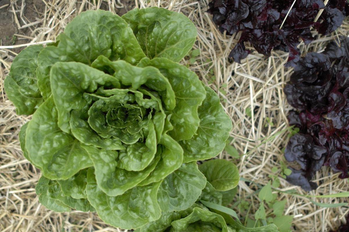 Dyrkning af salat - se hvordan du dyrker salat her!
