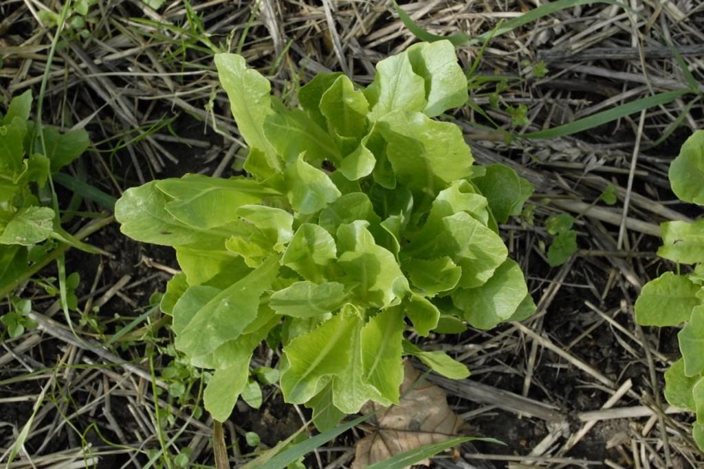 Dyrkning af salat - nye spirer