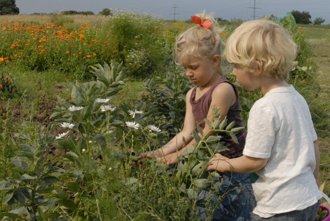 Børn i køkkenhaven - Kornelia og Orson høster hestebønner