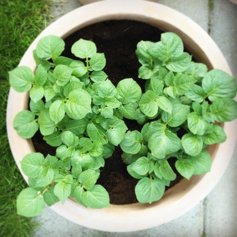 Dyrkning af køkkenhave i krukker - kartofler