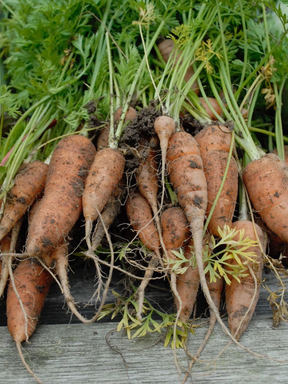 Dyrkning af gulerødder - sådan gør du