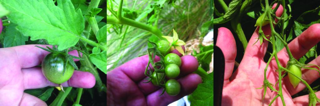 Dyrkning af tomater - frugterne