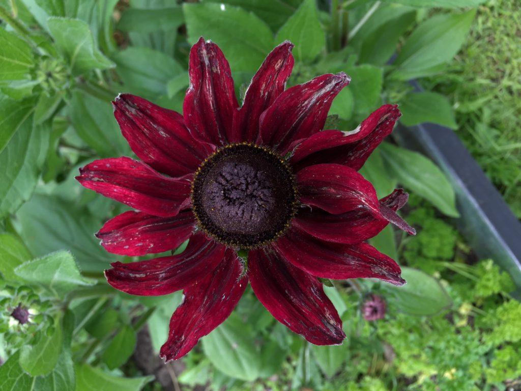 Rød solhat - bivenlig blomst