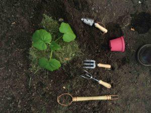 Klar til udplantning af planter.