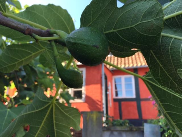 Figentræ - så dyrker du egne figner